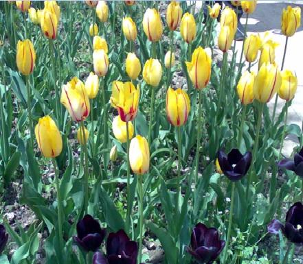 Желтые и черные тюльпаны