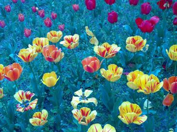 тюльпаны на синем фоне