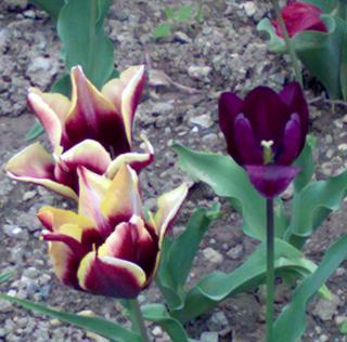 три тюльпана