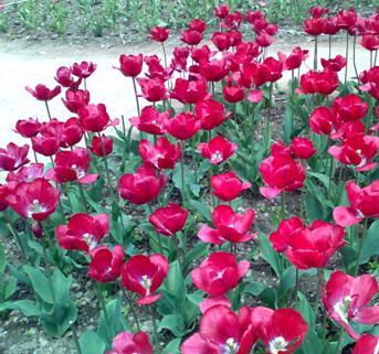 еще красные тюльпаны